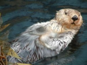 otter-swimming_2634695