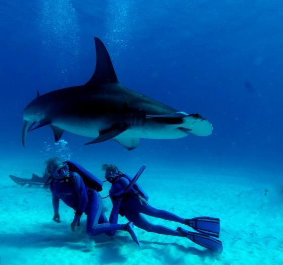 Photo Credit: GREAT HAMMERHEAD SHARK- RICHARD MURPHY, PhD- Ocean Futures Society